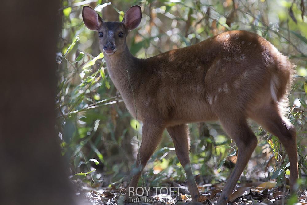 Red brocket (Mazama americana), Pantanal, Brazil