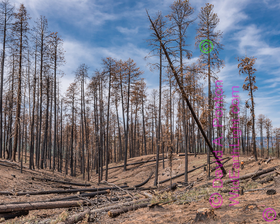 Tree fellers watch a fire-killed ponderosa pine tree fall after they cut it. The salvage logging was carried out about 10 months after the Cajete Fire that burned in June and July 2017, killing many large ponderosa pines from the intense heat of ground fire burning pine needles, sticks, and pine cones built up in more than a century of fire suppression. © 2018 David A. Ponton