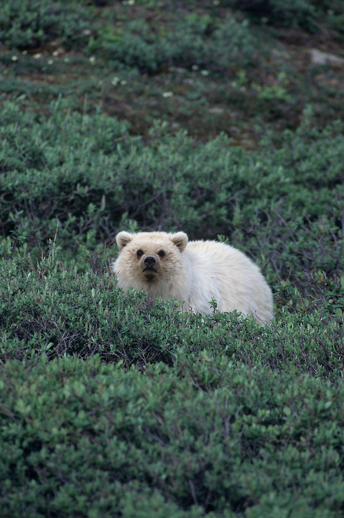 USA, Alaska, Dalton Highway, Grizzly Bear (Ursus arctos) resting in alpine meadow in Atigun Pass in Brooks Range
