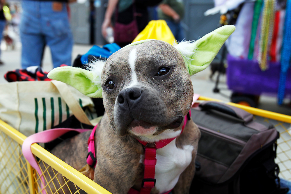 "The Mystic Krew of Barkus the dog parade with the theme ""Bark Wars: Return of the K-9"" in the French Quarter of New Orleans, Louisiana on Sunday, February 8, 2015. Bands, floats, animals and animal lovers alike attended the parade on a warm Sunday."