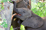 Portrait of a baby elephant stripping bark from the trunk of a tree.