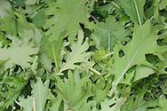 Harvested salad greens at a Palmer, Alaska-area organic farm.
