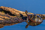 Painted Turtle - Chrysemys picta climbing onto a log with reflection