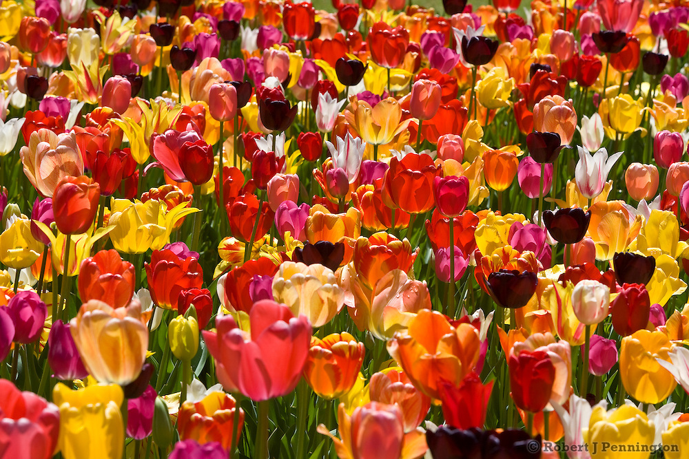 Multi-colored tulip flowers