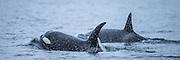 Today I followed 6-7 Killer whale by boat in Herøyfjord, Norway. It was a mighty experience to see those whales coming up from the ocean.  | I dag fulgte jeg 6-7 spekkhoggere en stund fra båt i Herøyfjord, Norge. Jeg så de ca ved Herøybrua, og fulgte de ut til Flåvær. Det var et mektig syn å se disse hvalene komme opp av sjøen.