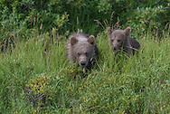 Young cubs in a field - Katmai, Alaska