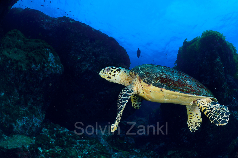 Hawksbill turtle (Eretmochelys imbricata) Central equatorial Atlantic Ocean, Saint Peter and Saint Paul Archipelago, Brazil #STP17 [first published through bioGraphic, a program of the California Academy of Sciences]  