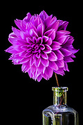 Purple Dahlia in a glass bottle on a black background