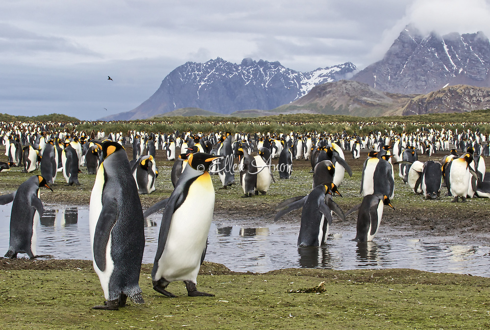 King Penguin, Salisbury Plain, South Georgia