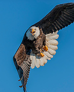 Bald eagle dives in aggressive attack looking directly into camera. Photographer happened to be in line with the eagles dive for a fish, and was not disturbing the eagle's nest or territory. © 2005 David A. Ponton
