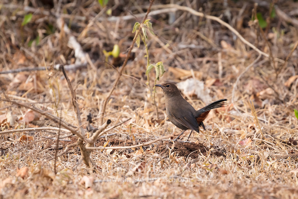 A brown rock chat forages on the ground for food, Mudumalai National Park, India.