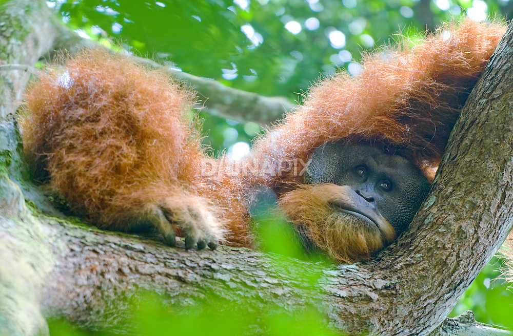 An large male Sumatra orangutan, with cheek pads, peers down from his treetop perch, Gunung Leuser National Park.