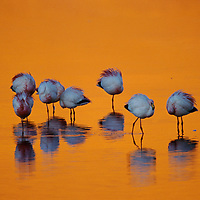 Flamingos puff up against the cold at Laguna Colorada in the Atacama Desert of Bolivia.<br />