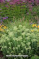 63821-23101 Autumn Joy Sedum (Sedum spectabile 'Autumn Joy') and Joe Pye Weed (Eupatorium purpureum)  Marion Co., IL