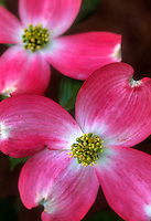 Pink dogwood bloom closeup