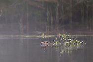 European beaver (castor fiber) swimming across forest lochan with willow branch to be used as food, Knapdale Forest, Argyll, Scotland.