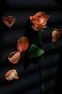 Still Life photograph of perfect orange roses. Santa Monica, CA 10.19.17