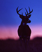 White-tailed deer at sunrise.