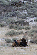 USA, Wyoming, Bull Bison, Ravens Collecting Nest Material, Yellowstone National Park