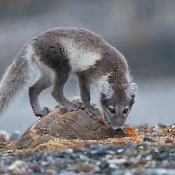 A young Arctic fox investigates the area around its den. Svalbard, Norway.