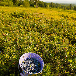 A bucket filled with ripe lowbush blueberries on a hilltop in Alton, New Hampshire.