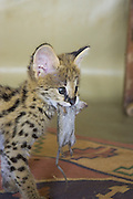 Serval<br /> Felis serval<br /> Six week old orphan serval kitten with first rat<br /> Tanzania