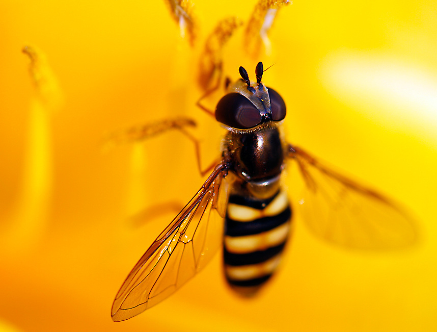 Hover Fly (Syrphus torvus)