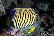 regal, royal, or blue-banded angelfish, Pygoplites diacanthus, Great Barrier Reef, Australia ( Western Pacific Ocean )