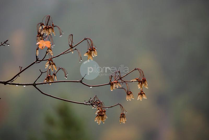 Hojas de arce (Acer sp.) Valle de Hecho. Parque Natural de los Valles Occidentales. Pirineos. Huesca ©ANTONIO REAL HURTADO / PILAR REVILLA