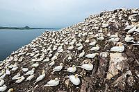 Basstölpel-Kolonie; Bass Rock, Schottland