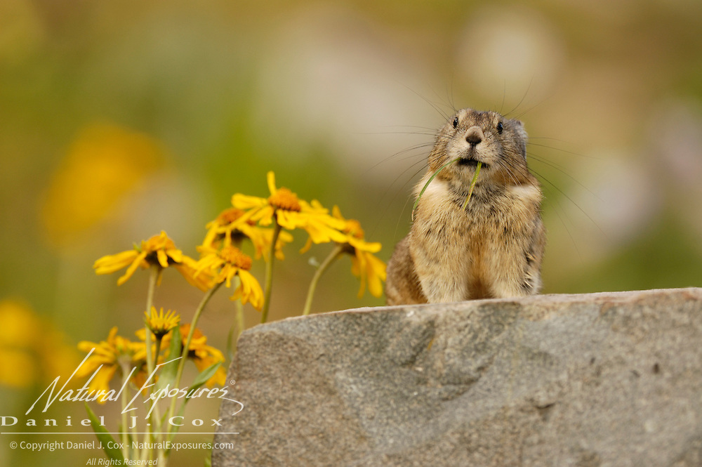 American Pika (Ochotona princeps) lives in rocky banks and steep boulder-covered hillsides at high elevations. Yankee Boy Basin, near Ouray, Colorado during late spring