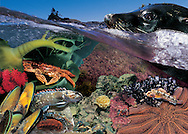 Photo illustration spreads from our children books:- Life size guide to New Zealand fish & Real size guide to New Zealands Rocky shore.  Books available direct from us and   A2 posters are available from these spreads.