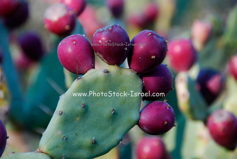 small Opuntia Zebrina- originally from Florida,  in a Cacti Garden details of the fruit