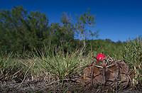 Horse Crippler Cactus, Echinocactus texensis <br /> Photographer: Dean Johnstone &amp; Bill Harvey Ranch: Fennessey Ranch - Brien O&rsquo;Connor Dunn <br /> Refugio County