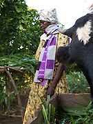 A member of Florence's cell group feeding her cow