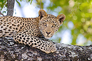 Portrait of a young leopard cub in a tree.