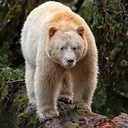 Spirit Bear (Kermode) standing on log fishing for salmon;  British Columbia in wild.