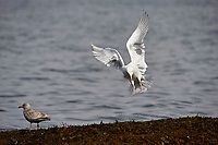 Glaucous-winged Gull (Larus glaucescens), Orlebar Point, Gabriola Island , British Columbia, Canada   Photo: Peter Llewellyn