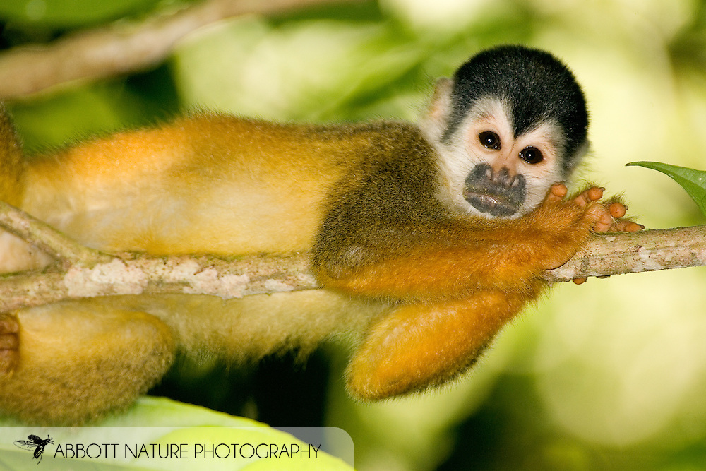 Black-crowned Central American Squirrel Monkey (Saimiri oerstedii oerstedii)<br /> COSTA RICA<br /> Corcovado National Park<br /> Sirena Biological Station<br /> 25-Feb-2007<br /> J.C. Abbott