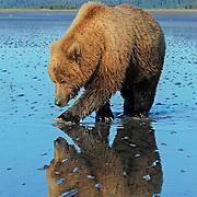 Coastal Brown bear claming on tidal flats with green water;  Lake Clark, Alaska in wild.