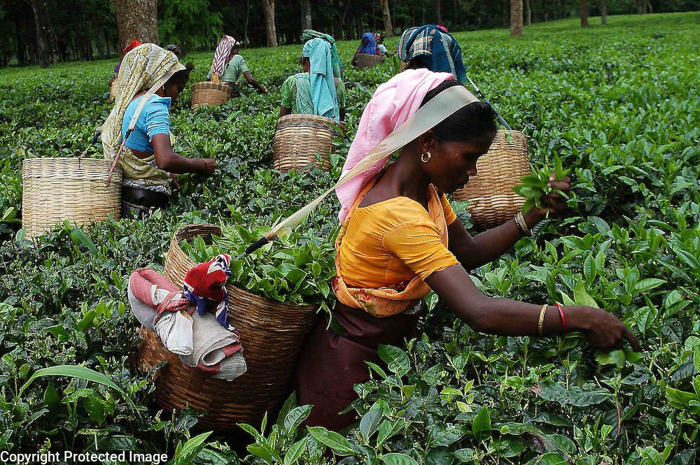Pix-Tea Garden-4-----Caption : Women tea labourers are plucking tea-leaves from a teagarden of Eastern Indian State Assam. Pix-Shib Shankar Chatterjee...