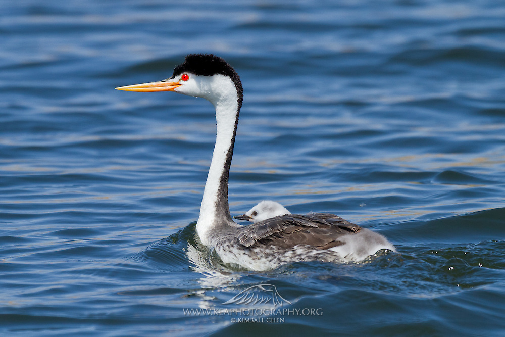 Clark's Grebe with baby chick on back, Southern California