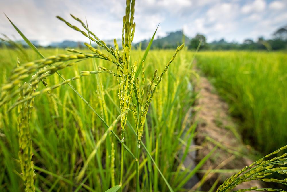 Closeup of African rice plant. (Oryza glaberrima), Gbedin village, Nimba County , Liberia