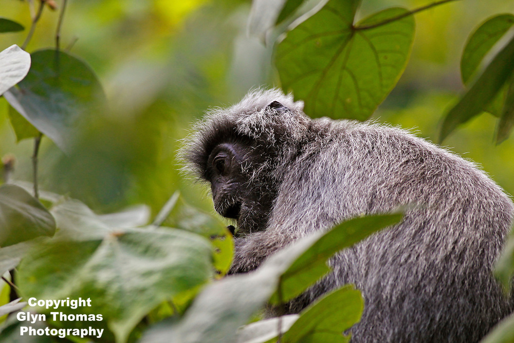 Silvery Lutung - Trachypithecus cristatus - also known as the silver leaf monkey, Bako National Park, Sarawak, Malaysia