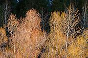 Bare trees, Yosemite National Park, California USA