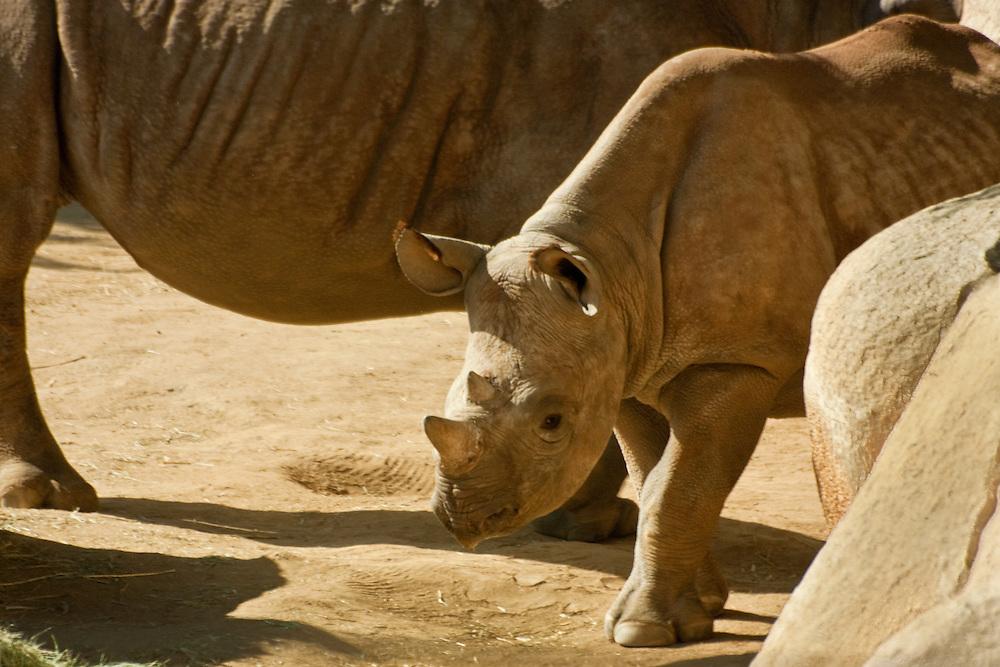 Black Rhinocerous calf