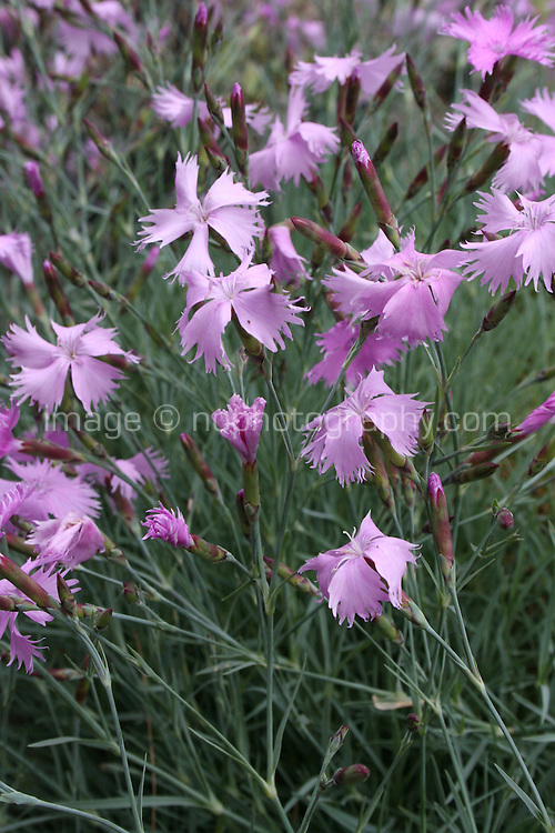 pink; Caryophllaceae Dianthus Nitidus