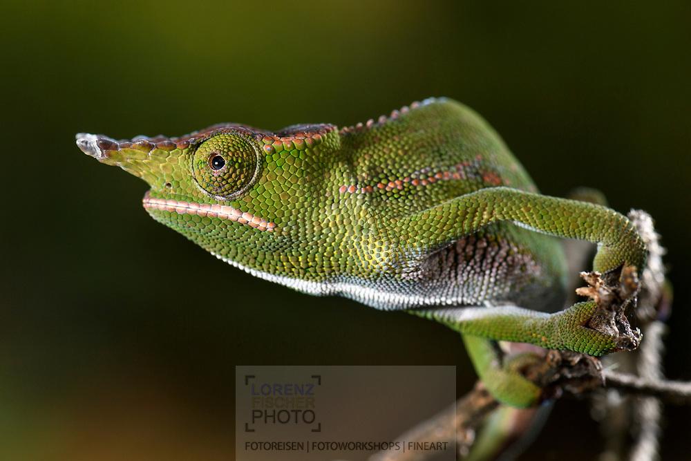 M&auml;nnliches Wills Cham&auml;leon (Furcifer willsii), Peyrieras, Madagaskar<br /> <br /> Male canopy chameleon (Furcifer willsii), Peyrieras, Madagascar