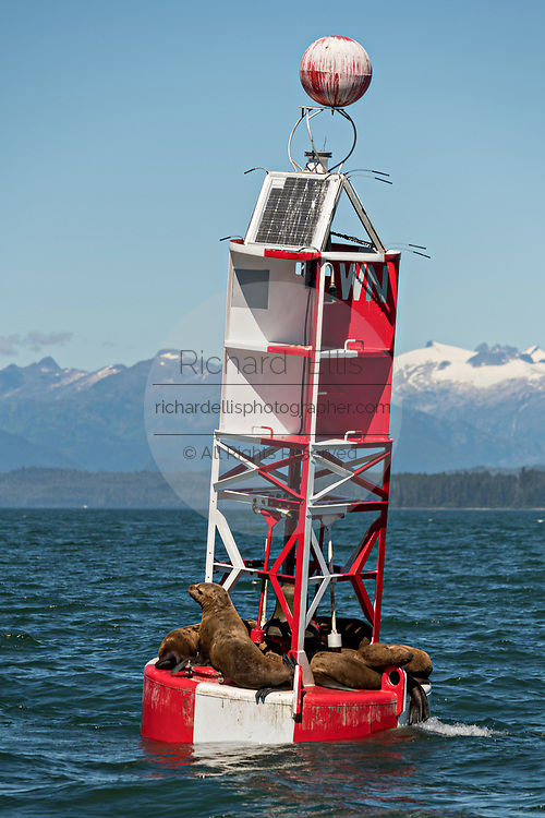 Stellar sea lions rest on a navigation buoy in Frederick Sound in Petersburg Island, Alaska. The sea lions use the buoy to avoid hunting packs of Orcas that frequent the ares in the summer months.
