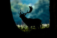 Fallow Deer (Dama dama) stag silhouetted at woodland edge, North Norfolk, UK. October.
